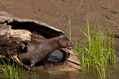 stock photo of mink  - Sleek mink coming out of hollow log den - JPG