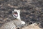 stock photo of termite  - Close up portrait of a cheetah yawning sitting on a termite mound at Serengeti National Park Tanzania - JPG