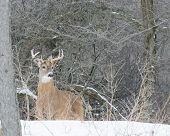 pic of deer rack  - Whitetail Deer Buck standing in a woods in winter snow - JPG