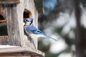 picture of blue jay  - Blue jay at old wood bird feeder - JPG