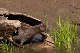 stock photo of hollow log  - Sleek mink coming out of hollow log den - JPG