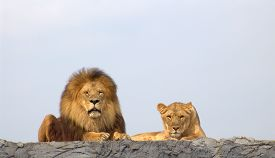 image of lion  - Lions - JPG