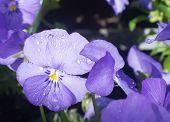 picture of viola  - Sweet purple violet flowers  - JPG