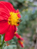foto of snuff  - Bee sucking nectar on the flowers  - JPG