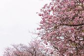 foto of tree-flower  - flower tree and pink flower tree blooming pink trumpet tree - JPG