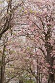 stock photo of trumpet flower  - flowers bloom on tree in summer pink - JPG