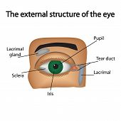 pic of lipids  - The external structure of the eye - JPG