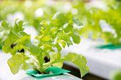 foto of frilly  - Hydroponics vegetable farm - JPG