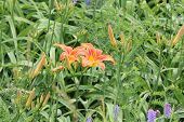 picture of day-lilies  - Day lilies are rugged, adaptable, vigorous perennials and comes in a variety of colours ** Note: Shallow depth of field - JPG