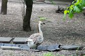 picture of descending  - The Chinese goose is a breed of domesticated goose descended from the wild swan goose - JPG