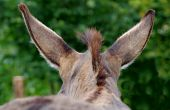 stock photo of burro  - The Donkey photographed from behind his head - JPG