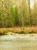 picture of swamps  - swamp landscape bog forest with standing water. Autumn landscape