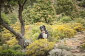 stock photo of naturel  - Border Collie dog standing on rocky path under a twisted old tree in the Tartagine forest near Mausol - JPG