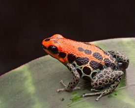 picture of poison arrow frog  - red reticulated poison arrow frog or dart frog Ranitomeya reticulata a poisonous small animal from the Amazon jungle of Peru - JPG
