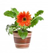 stock photo of flower pot  - orange gerbera in a ceramic pot isolated on white background - JPG