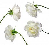 stock photo of single white rose  - beautiful white roses on a white background - JPG