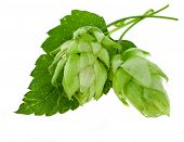image of hop-plant  - hop isolated on white - JPG