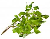 stock photo of origanum majorana  - Marjoram Herb  - JPG