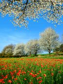 Spring rural landscape with blooming poppy field and trees in sunny day,  Czech Republic. poster