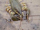Crayfish On The River-Bank