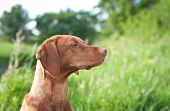 stock photo of vizsla  - A closeup portrait of a Hungarian Vizsla dog with purple wildflowers and green grass in the background - JPG