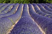 stock photo of lavender field  - Beautiful purple lavender field in provence - France