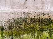 Mold Thickly Covers A Wall. Black, Dark Green, Light Green And White Mold, Mildew And Fungus Appear  poster