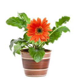 stock photo of flower pot  - orange gerbera in a ceramic pot isolated on white background - JPG