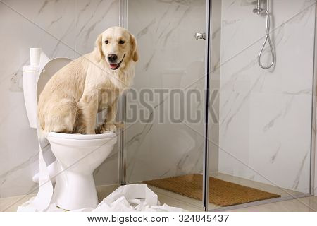poster of Cute Golden Labrador Retriever Sitting On Toilet Bowl In Bathroom. Space For Text