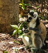 Portrait Of The Eating Ring-tailed Lemur Lemur Catta Aka King Julien In Anja Community Reserve ,mana poster