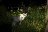 The White Timber Wolf (canis Lupus), Also Known As The Gray Wolf , Natural Scene From Natural Enviro poster
