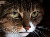 Tabby Cat With Yellow Eyes Looks Fearful. Mental And Emotional Problems Of Cats poster