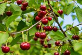 Sweet Cherries Hanging On A Tree Branch. Red Sweet Cherries On The Tree. Red Ripe Berries Of Sweet C poster