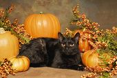pic of bittersweet  - A black cat lays with pumpkins and orange bittersweet - JPG