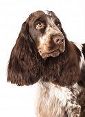 English Cocker Spaniel  purebred dog in white background poster