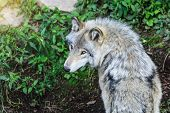 Beautiful Gray Wolf Running, In The Forest Background. Close To Wolf In Natural Environment. Close U poster