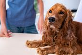 Vet doctor examining golden retriever dog in clinic poster