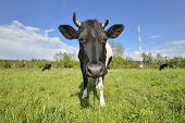The Portrait Of Cow On Grazing On A Field. Young Black And White Calf Staring At The Camera. Curious poster