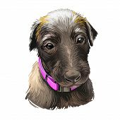 Scottish Deerhound Pet Originated From Scotland Digital Art Illustration . Canine With Long Haired C poster
