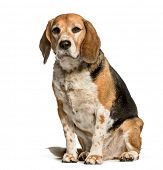 Beagle sitting against white background poster