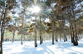 Forest On A Bright Sunny Winter Day poster