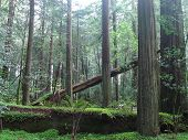 pic of redwood forest  - Giant Redwood Forest Northern CA - taken March 2008