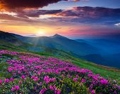 stock photo of wild adventure  - Magic pink rhododendron flowers on summer mountain - JPG