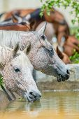 stock photo of arabian horse  - Horses drinking water outdoor - JPG