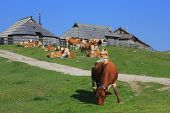 foto of velika  - Cow eating grass - JPG