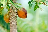 image of papaya  - papaya fruits in the tree - JPG