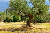 stock photo of kalamata olives  - Olive trees under bright sunlight against thunderstorm sky - JPG