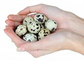 stock photo of quail  - Quail eggs in hands isolated on white - JPG