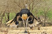 picture of low-necked  - A male Ostrich, with intimidating and threatening wings hanging low.  Photographed in the wilds of Africa.