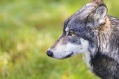 foto of north american gray wolf  - North American Gray Wolf - JPG